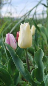 春はチューリップ(5)