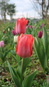 春はチューリップ(6)
