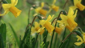 春はチューリップ(3)