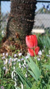 春はチューリップ(13)