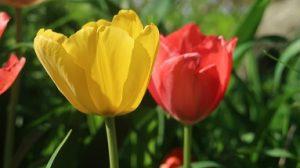 春はチューリップ(11)